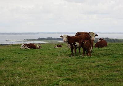 Hereford koe met kalf en stier