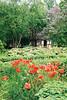A lovely rural setting. Poppies in Funen Village.