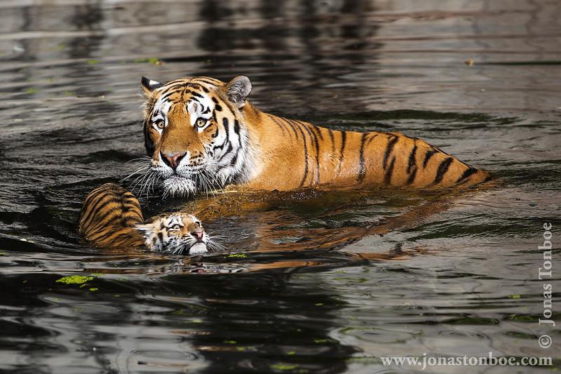 Female Amur Tiger and Cub Amur Tiger
