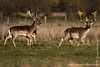 Fallow Deer aka Dådyr