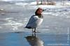 Eurasian Wigeon aka Pibeand