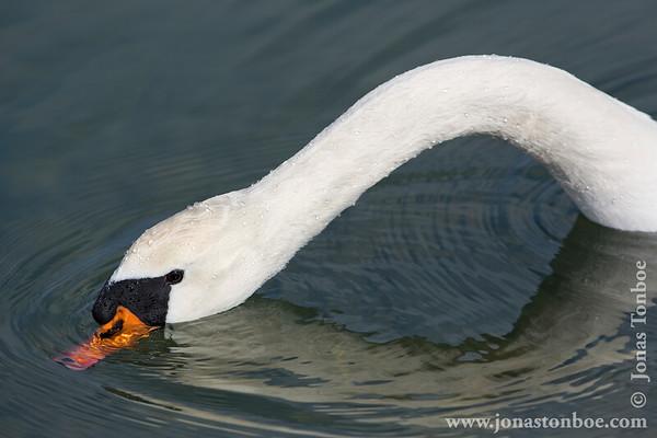 Kalvebod Fælled: Mute Swan / Knopsvane (Cygnus olor)