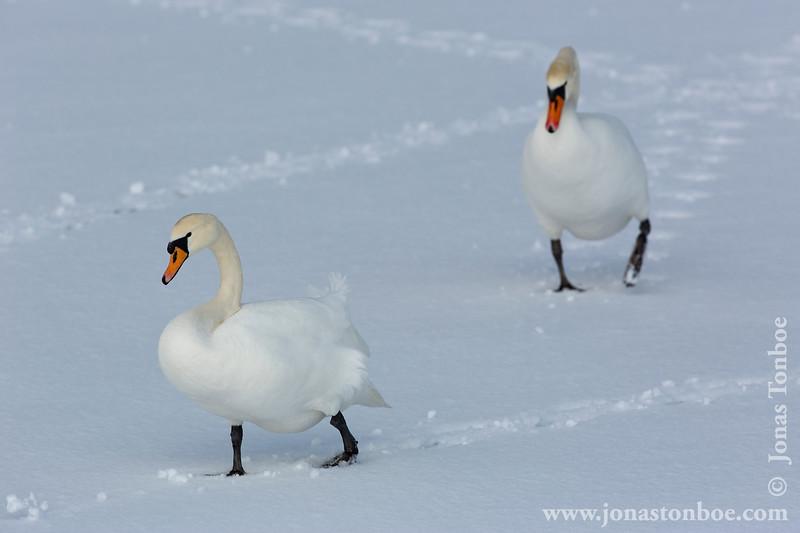 Mute Swan aka Knopsvane