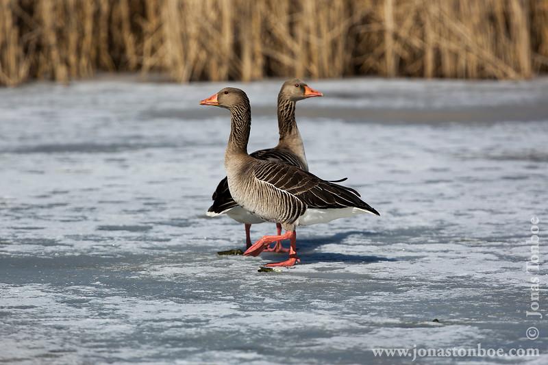 Greylag Goose aka Grågås