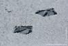 Greylag Goose Tracks on Snow