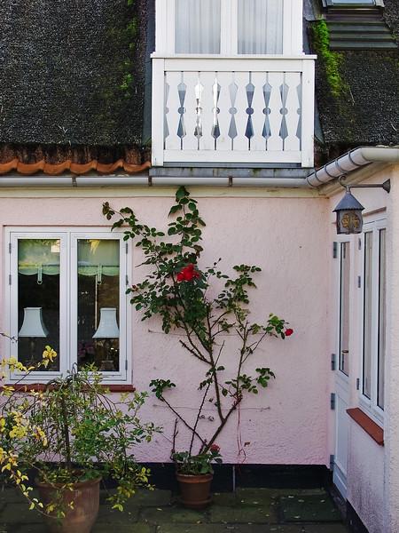 Denmark pink wall rose bush