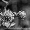 Weed Seedhead