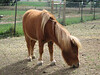 Miniature horse...
