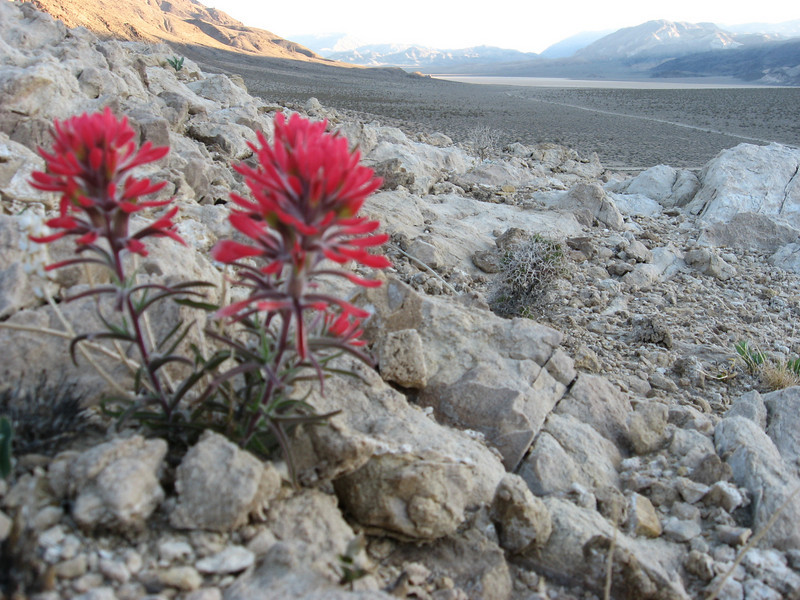 A beautiful view at Death Valley, with pretty red desert flowers in foreground, overlooking The Racetrack area of the park.