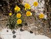 Spring Flowers in the Desert - Utah - Photo by Cindy Bonish