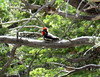 After the cave tour, I rode back to the campground, then hiked a few miles up along Lehman Creek, where I saw this red-naped sapsucker.
