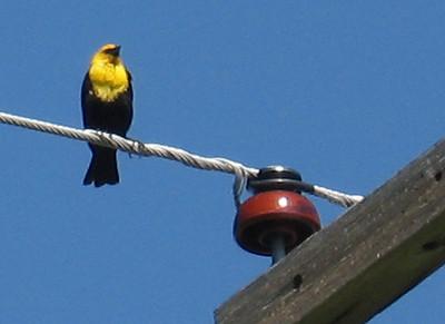 Here's a yellow-headed blackbird.