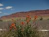 Flowers with Vermillion Cliffs.