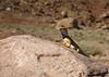 A collared lizard.