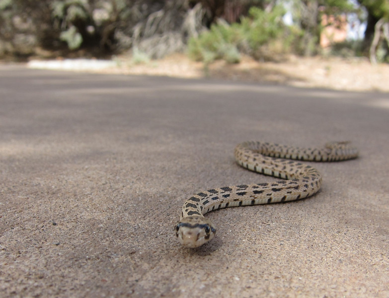 A snake at the visitor center of the Navajo National Monument. While I was trying to get its head in focus, it struck at the camera lens. So I stopped trying.