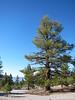 Jeffrey pines growing in pumice, south of Mono Lake.