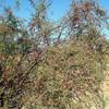 Saltcedar (<i>Tamarix ramosissima</i>)