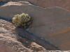 081231_7511 Bush growing in tilted sedimentary rock in Twenty Mule Team Canyon