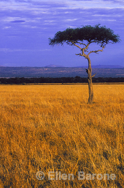 Distinctive acacia tree, Serengeti Plain, Kenya, East Africa.