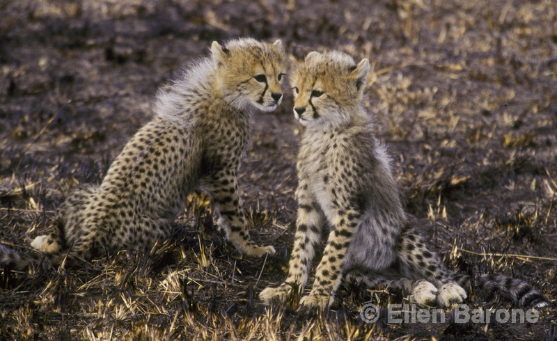Cheeta pups