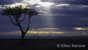 Distinctive acacia tree in dramatic light, Serengeti Plain, Kenya, East Africa.