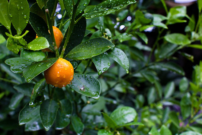 Garden detail, orange tree, Ajijic, Jalisco, Mexico.
