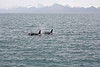 Orca whales,  Resurrection Bay, Seward, Alaska.