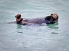 Sea otter,  Resurrection Bay, Seward, Alaska.