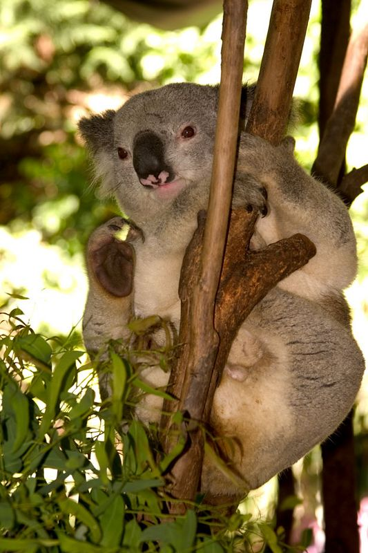 Koala, Koala Park, Sydney area, New South Wales, Australia