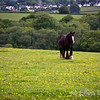 Farm horse and scenic view over Rackenford, Exmoor National Park, north Devon, England, U.K.