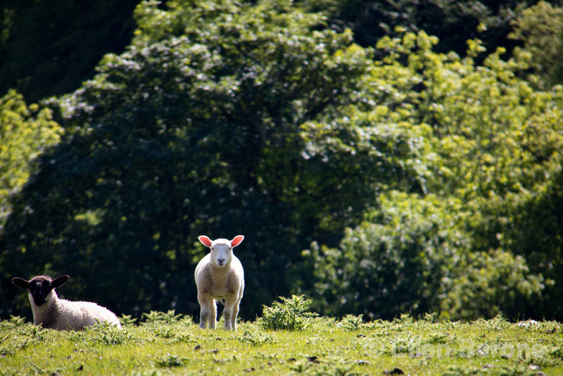 Lambs, Exmoor National Park, Somerset. England, U.K.