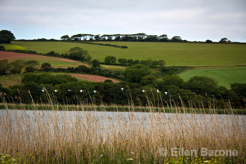 White swans at Slapton Ley, the largest natural freshwater lake in the South West of England, Devon county.
