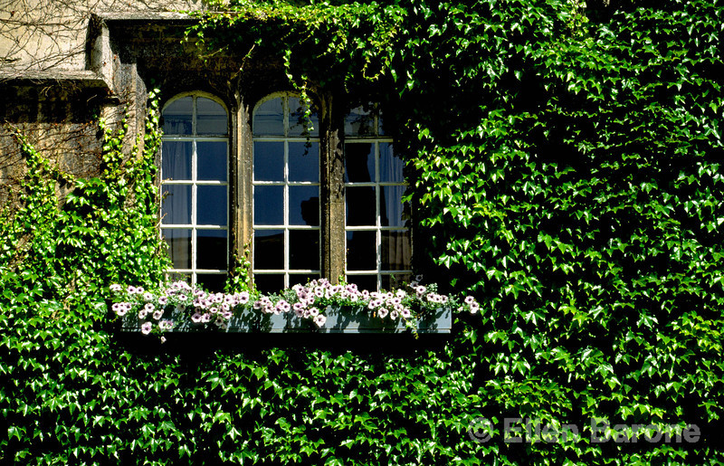 The world famous ivy covered walls, Exeter College, Oxford, England