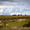 Wild herd, Exmoor Ponies, Britain's oldest breed of wild pony, Exmoor National Park, Somerset. England, U.K.