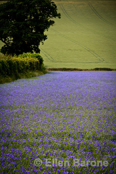 Purple flaxseed fields stretch for miles in Dartmoor National Park, Devon, England, U.k.