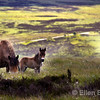 Exmoor pony and foal, near Porlock, Exmoor National Park, Somerset, England, U.K.