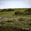 Gray mare, wild Dartmoor pony, Dartmoor National Park, Devon, England, U.K.