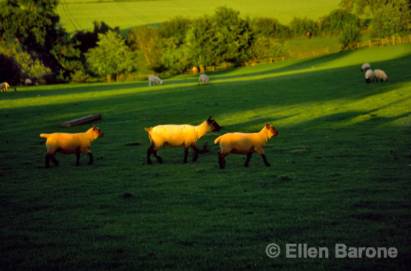 rural scenic, sheep in warm light, the Cotswolds, England