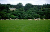 Country manor house with sheep in lush green pastureland, a quintessential Cotswold scenic, near Broadway, the Cotswolds, England.