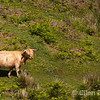 Highland cattle, near Porlock, Exmoor National Park, Somerset, England, U.K.