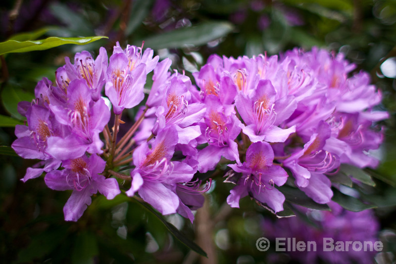 Rhododendron, north Devon, south west England, U.K.