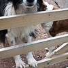 Border collie, north Devon farm, south west England, U.K.