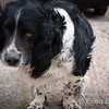 Sad 'old boy', English Springer Spaniel, Burrow Farm near Drewsteignton, Devon, England, U.K.