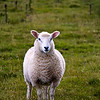 Lamb(s), near Porlock, Exmoor National Park, Somerset, England, U.K.