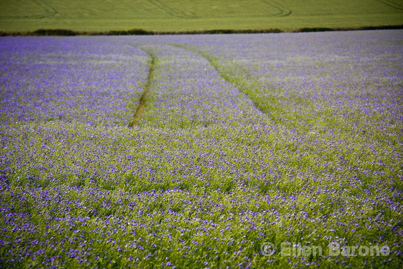 Purple flaxseed fields stretch for miles in Dartmoor National Park.