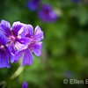 Johnson blue geranium, north Devon farm, Exmoor National Park, south west England, U.K.