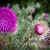 Wild thistle, Dartmoor National Park, Devon, England, U.K.