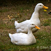Ducks/geese, Dartmoor National Park, Devon, England, U.K.