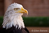 Bald eagle, chateau Les Milandes, Dordogne River valley, France.