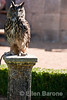 Horned owl, raptor show, Chateau Les Milandes, Dordogne River valley, France.